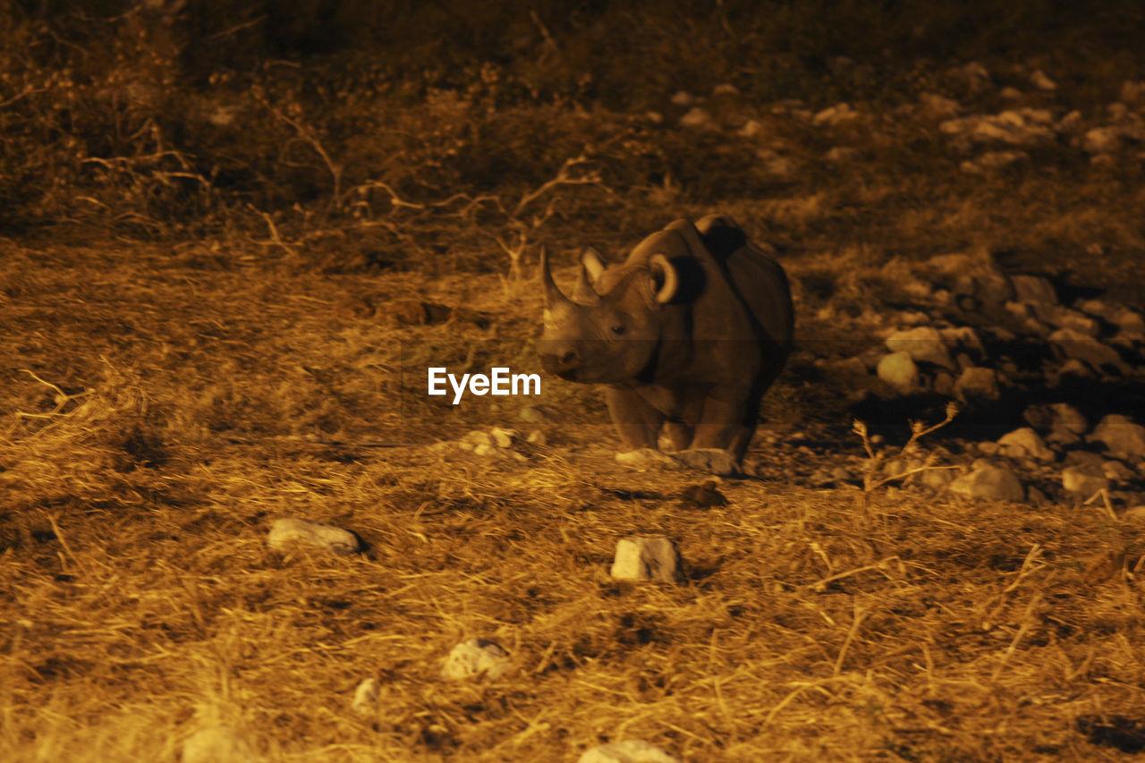 Rhinoceros walking on field