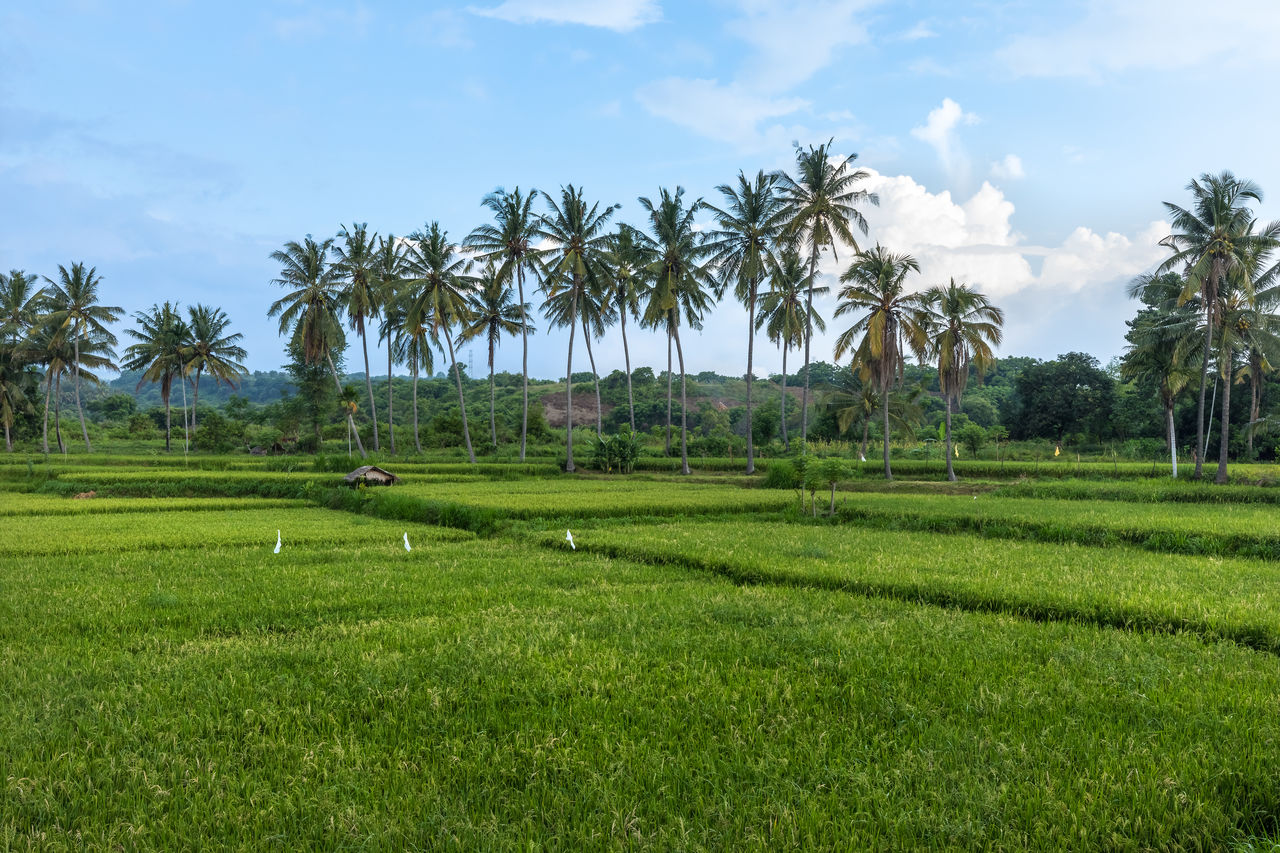 palm tree, field, tree, agriculture, nature, landscape, beauty in nature, tranquility, rice paddy, growth, sky, green color, no people, scenics, outdoors, day, grass