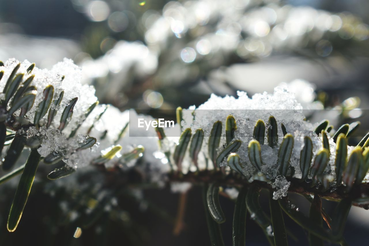 winter, cold temperature, snow, close-up, plant, frozen, focus on foreground, no people, ice, day, beauty in nature, growth, nature, white color, fragility, vulnerability, flower, flowering plant, tranquility, outdoors, flower head, extreme weather, blizzard, icicle