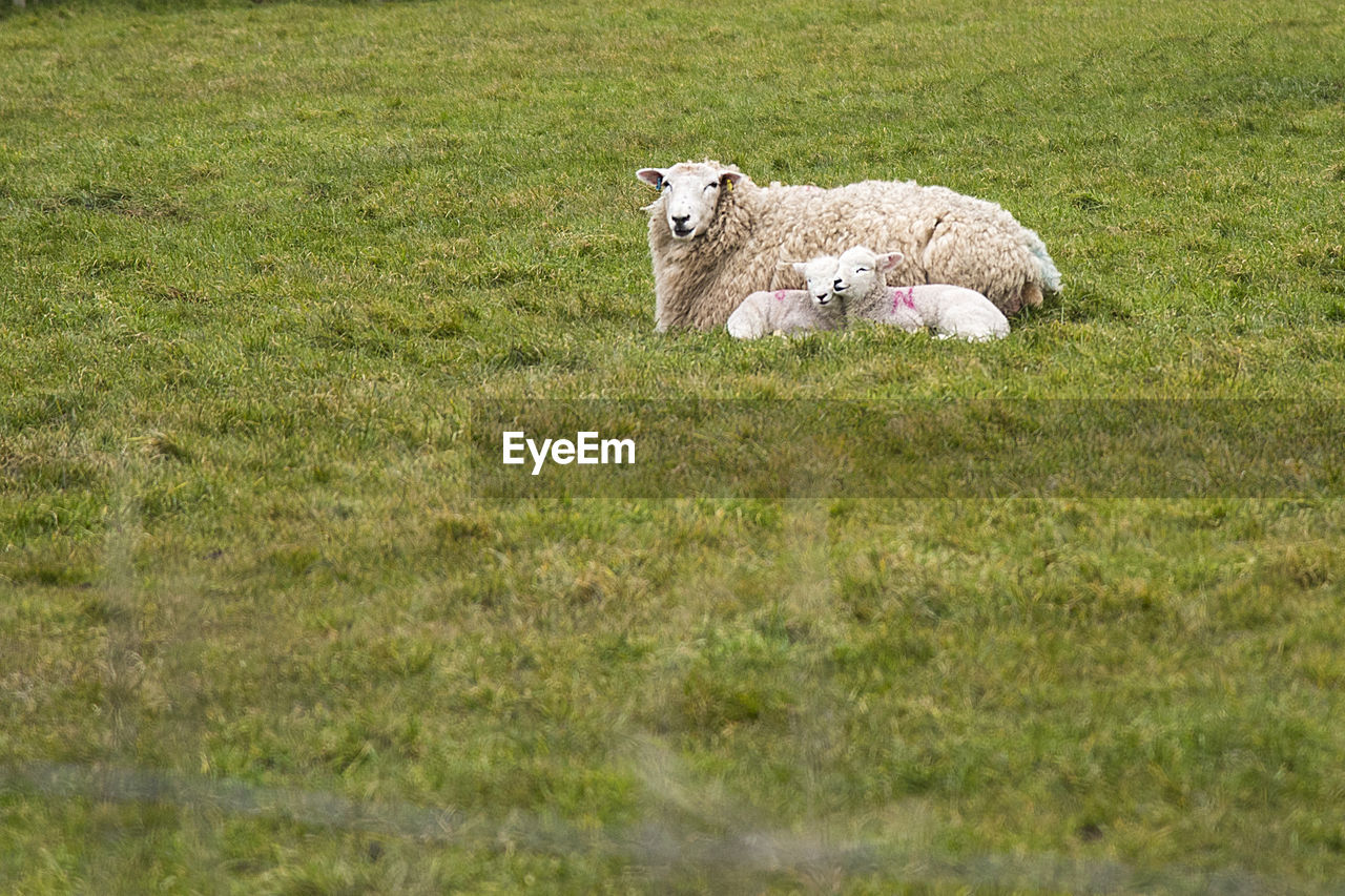 Sheep Relaxing With Lambs On Grassy Field