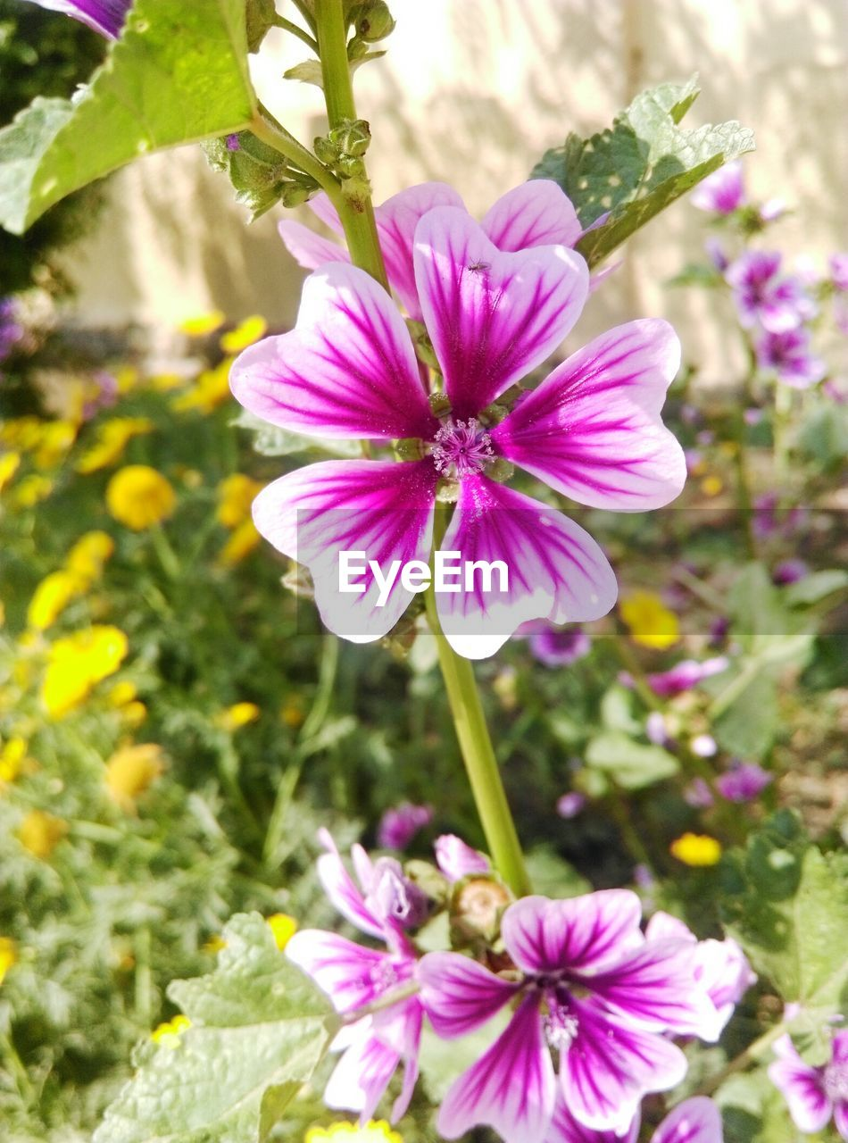 flower, petal, fragility, nature, growth, plant, beauty in nature, freshness, purple, blooming, flower head, outdoors, no people, pink color, cosmos flower, day, close-up, osteospermum, crocus