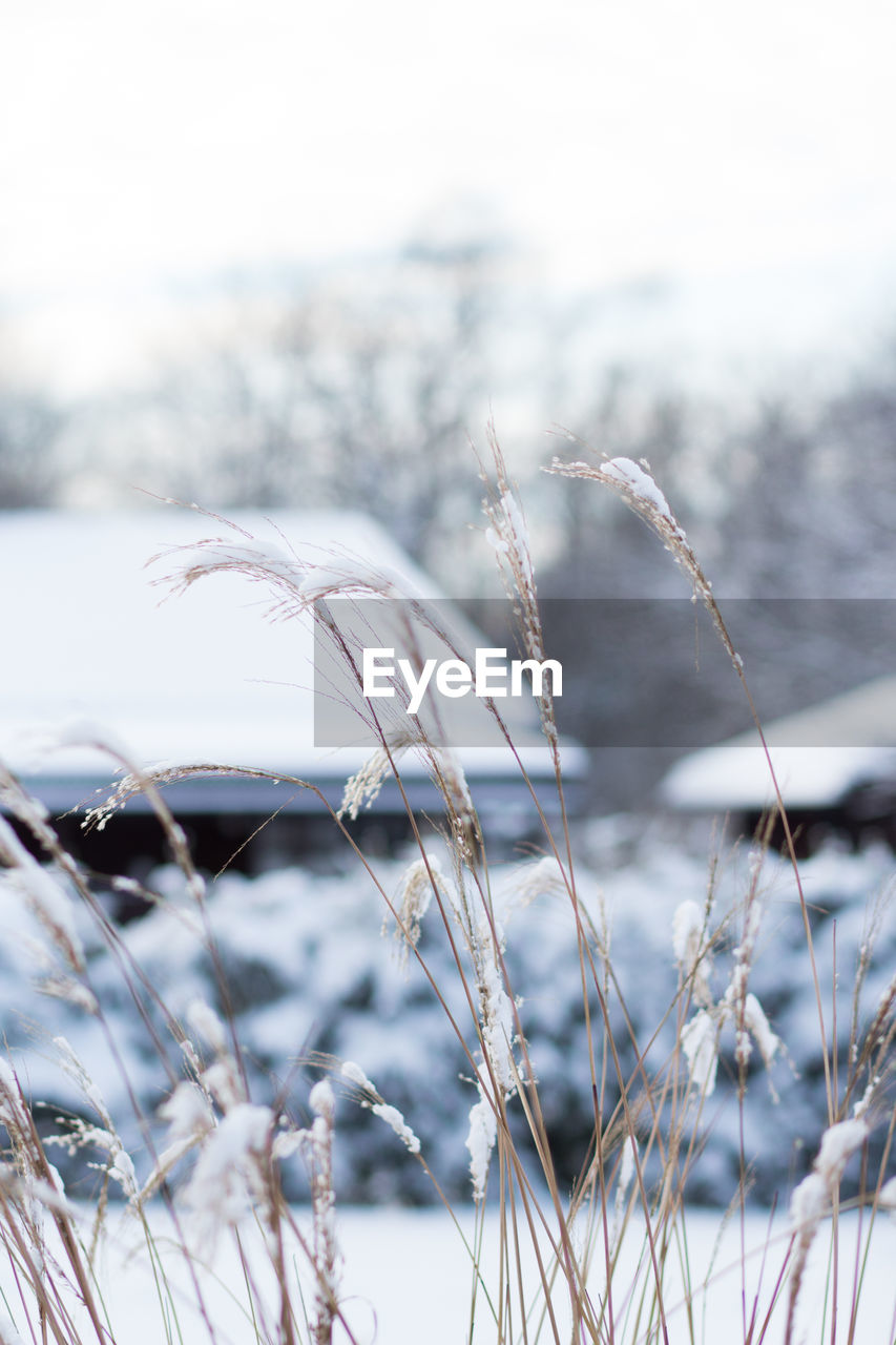 focus on foreground, cold temperature, plant, winter, snow, nature, no people, day, beauty in nature, tranquility, close-up, selective focus, frozen, growth, outdoors, land, grass, field, scenics - nature