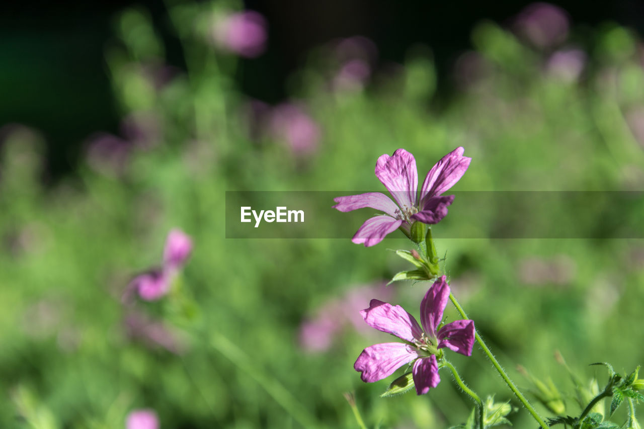 flower, flowering plant, plant, beauty in nature, freshness, fragility, vulnerability, growth, pink color, petal, close-up, flower head, inflorescence, focus on foreground, nature, no people, day, outdoors, land, field, purple