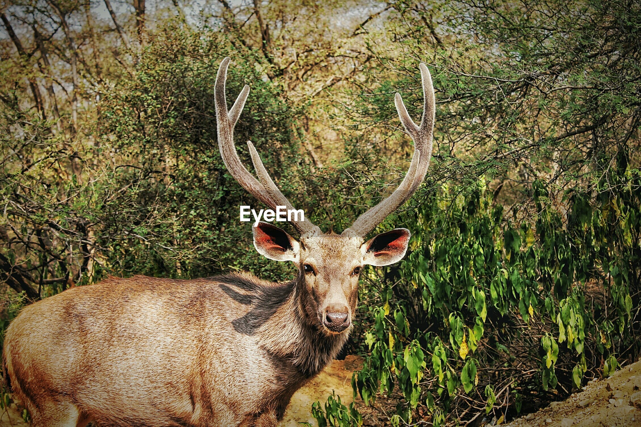 Portrait of swamp deer in forest