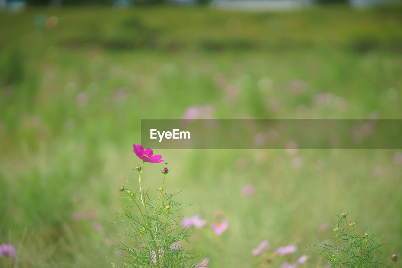 flower, pink color, fragility, petal, nature, growth, plant, beauty in nature, freshness, green color, flower head, day, outdoors, focus on foreground, no people, blooming, close-up, cosmos flower, grass