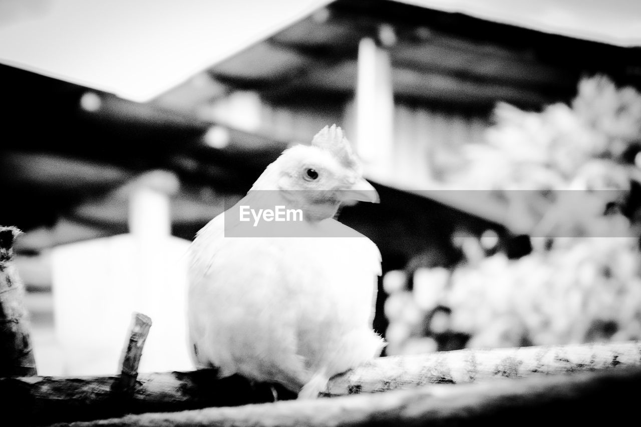 animal themes, bird, one animal, domestic animals, no people, close-up, focus on foreground, livestock, day, animals in the wild, indoors, perching, nature, mammal