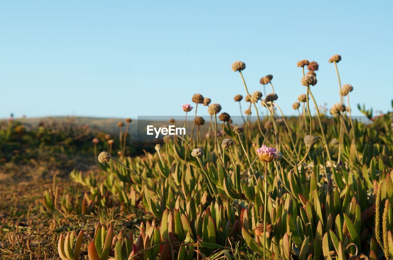 CLOSE-UP OF FLOWERING PLANT AGAINST CLEAR SKY