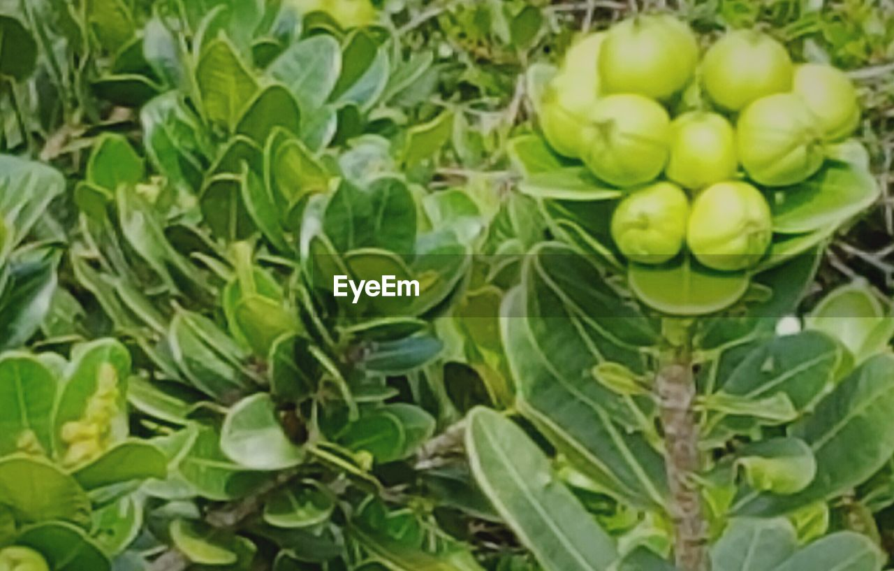 fruit, green color, leaf, healthy eating, food and drink, freshness, food, growth, no people, day, plant, outdoors, close-up, nature, beauty in nature