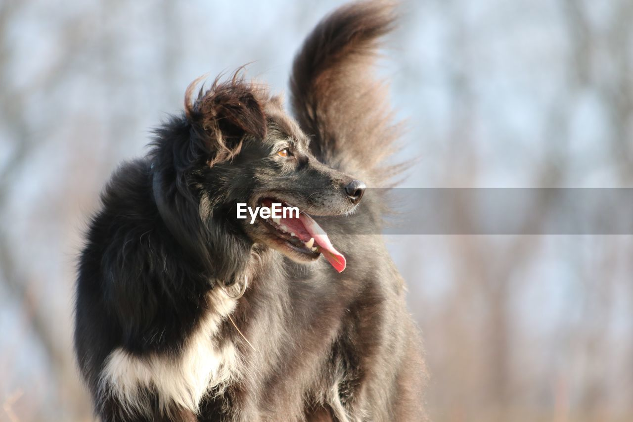 animal themes, animal, mammal, one animal, dog, vertebrate, canine, domestic animals, domestic, pets, focus on foreground, facial expression, looking, looking away, no people, sticking out tongue, day, outdoors, mouth open, animal tongue, animal head
