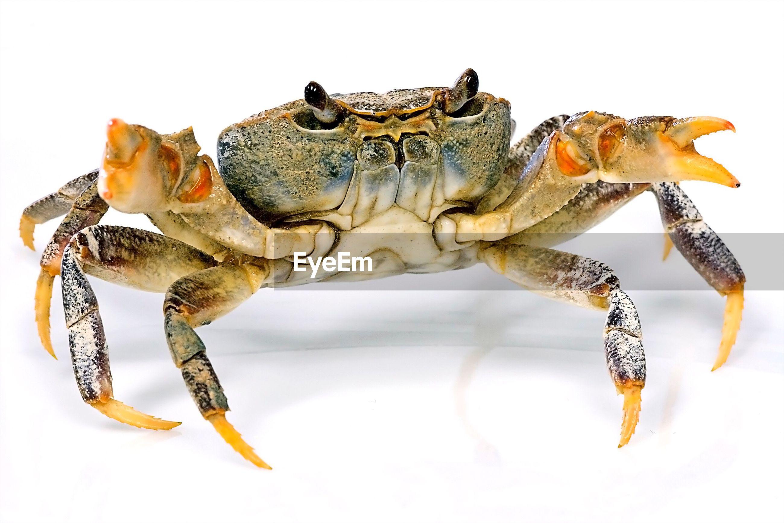 Studio shot of crab