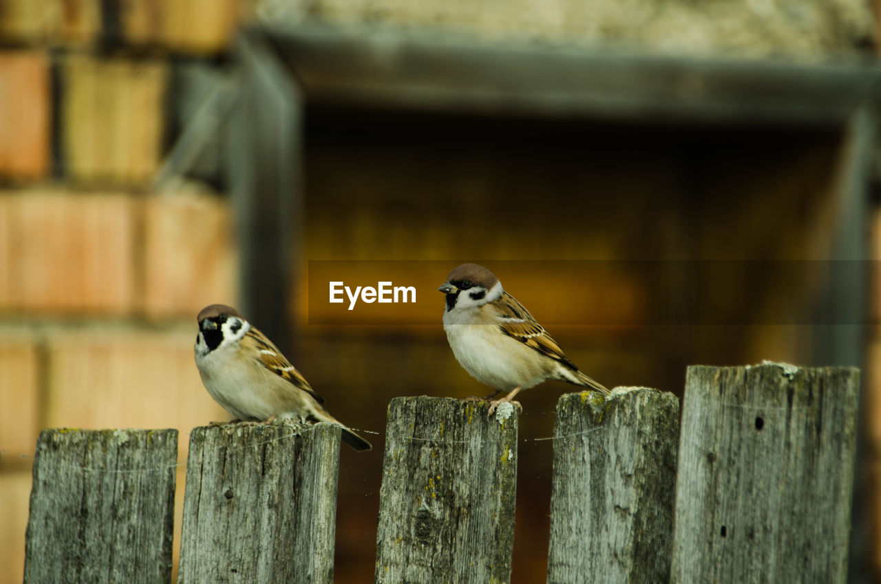 animal themes, animal, animal wildlife, vertebrate, bird, group of animals, wood - material, perching, animals in the wild, two animals, focus on foreground, fence, barrier, boundary, day, no people, outdoors, close-up, selective focus, sparrow, wooden post
