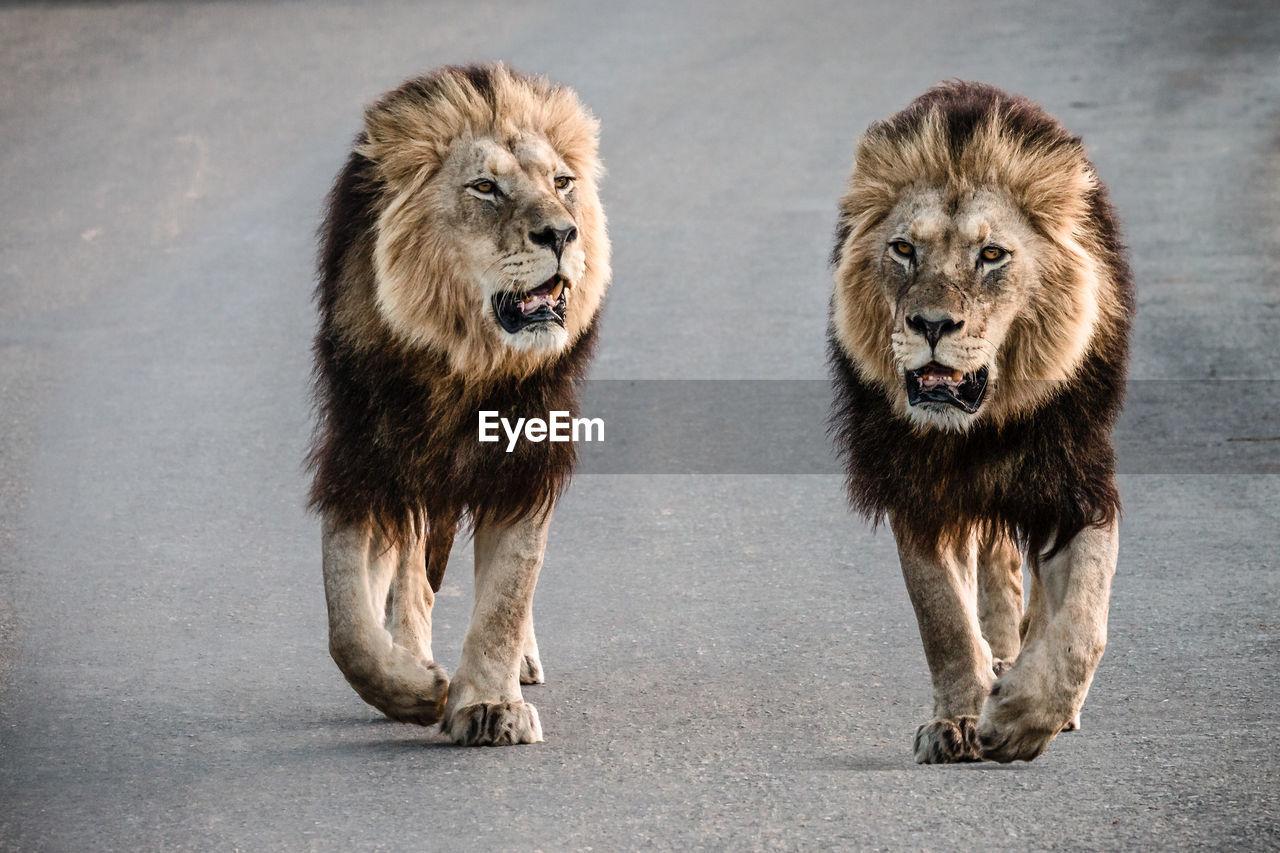 Lions walking on road