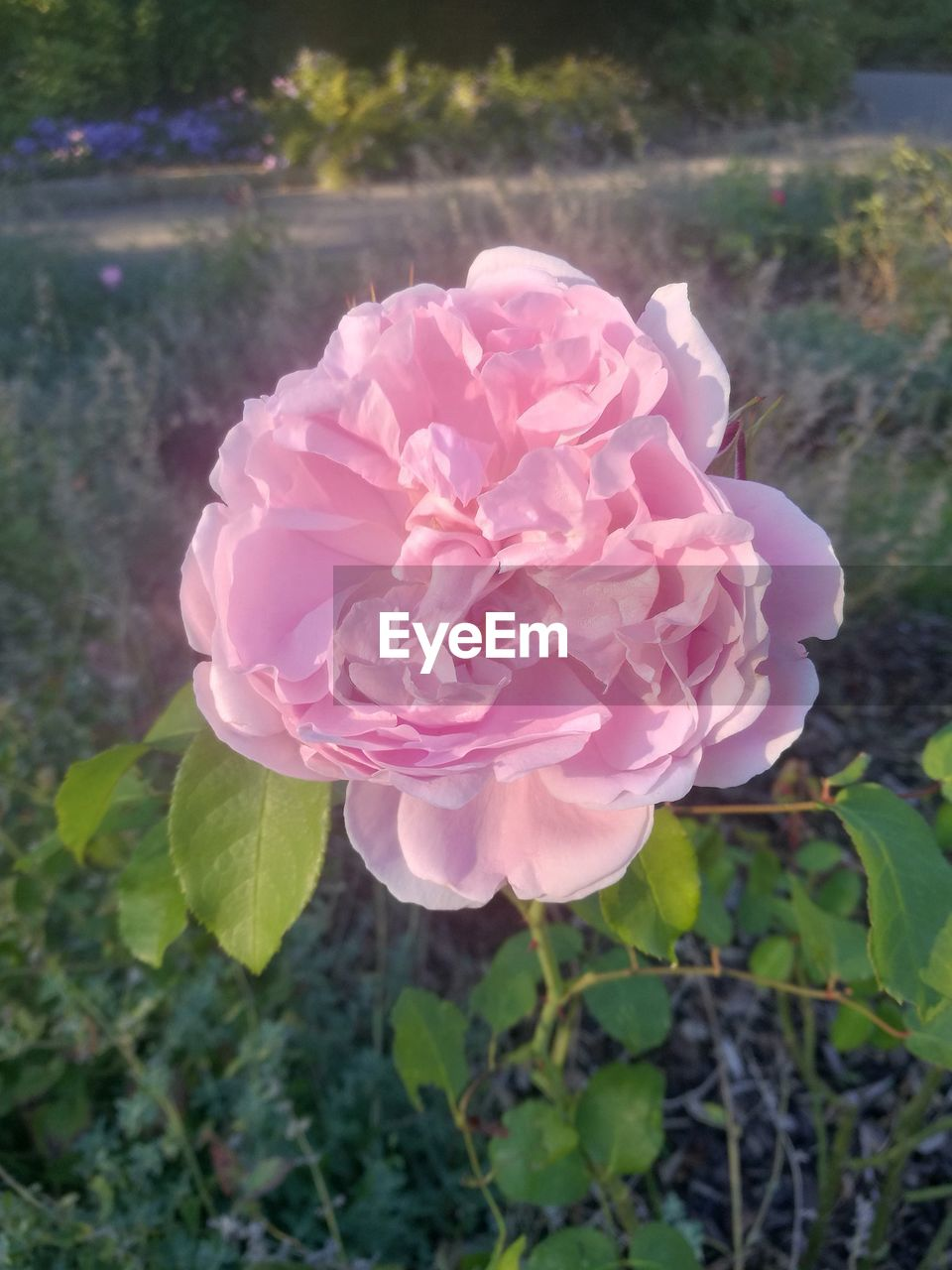 flowering plant, flower, plant, beauty in nature, vulnerability, fragility, petal, freshness, flower head, inflorescence, growth, rose, close-up, nature, pink color, leaf, rose - flower, day, plant part, outdoors, no people