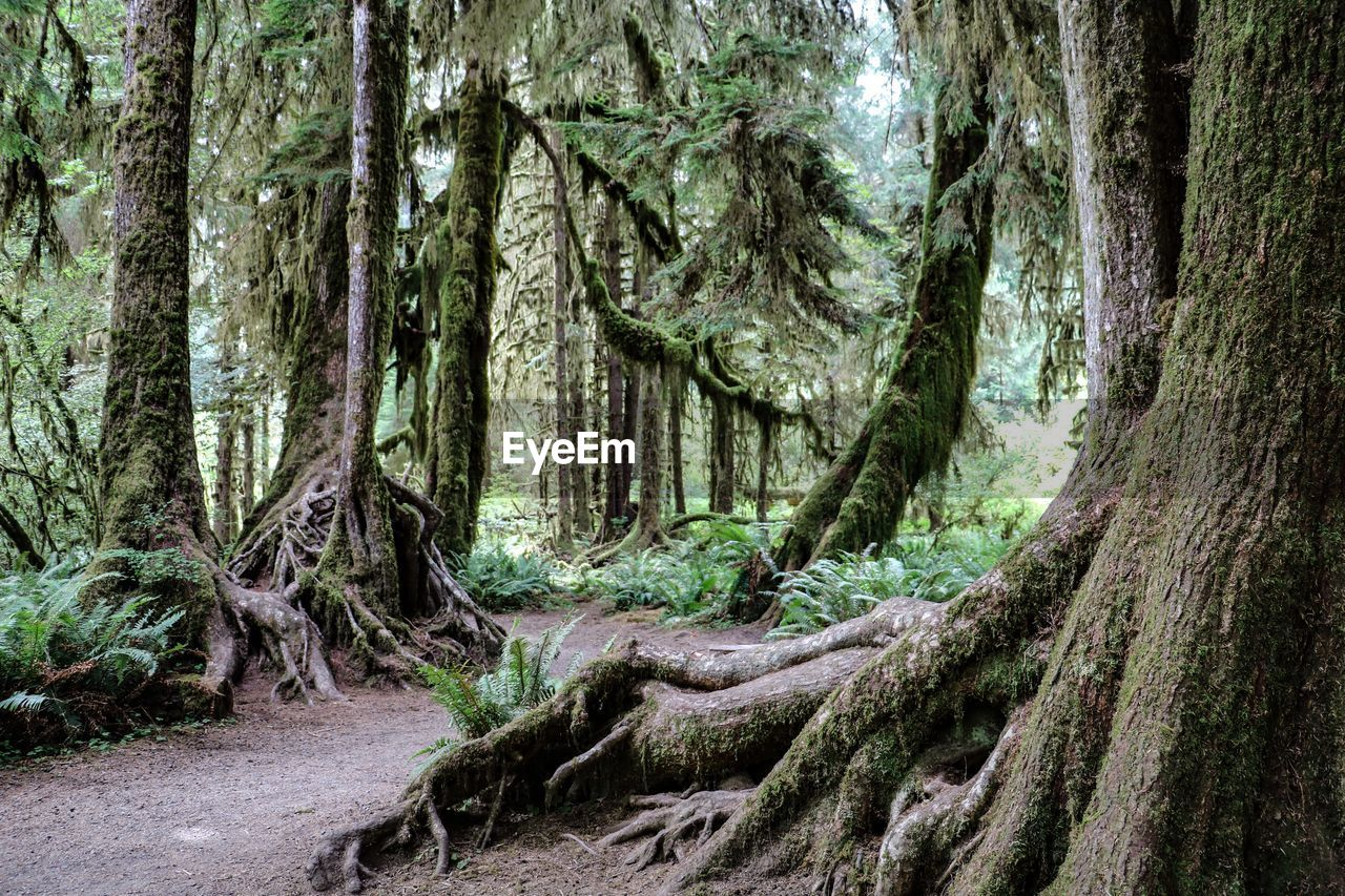 tree, trunk, tree trunk, plant, forest, growth, land, woodland, beauty in nature, nature, day, tranquility, no people, outdoors, green color, tranquil scene, scenics - nature, moss, root, remote, bark, rainforest