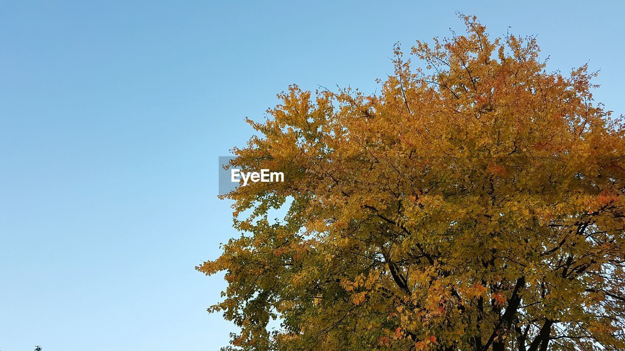 tree, autumn, nature, low angle view, change, beauty in nature, growth, leaf, clear sky, day, no people, tranquility, outdoors, scenics, sky