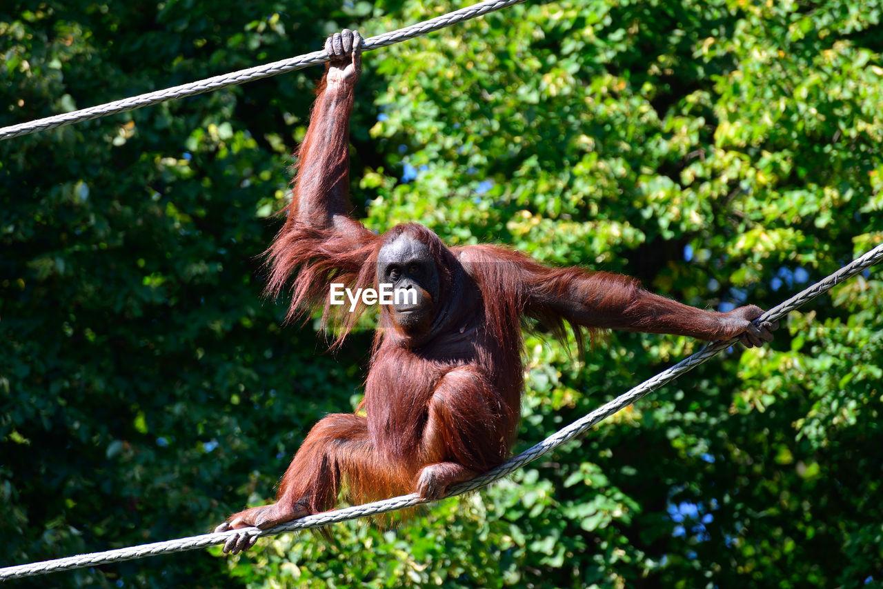 tree, orangutan, one animal, hanging, animal wildlife, animals in the wild, monkey, day, mammal, no people, outdoors, animal themes, ape, nature, forest