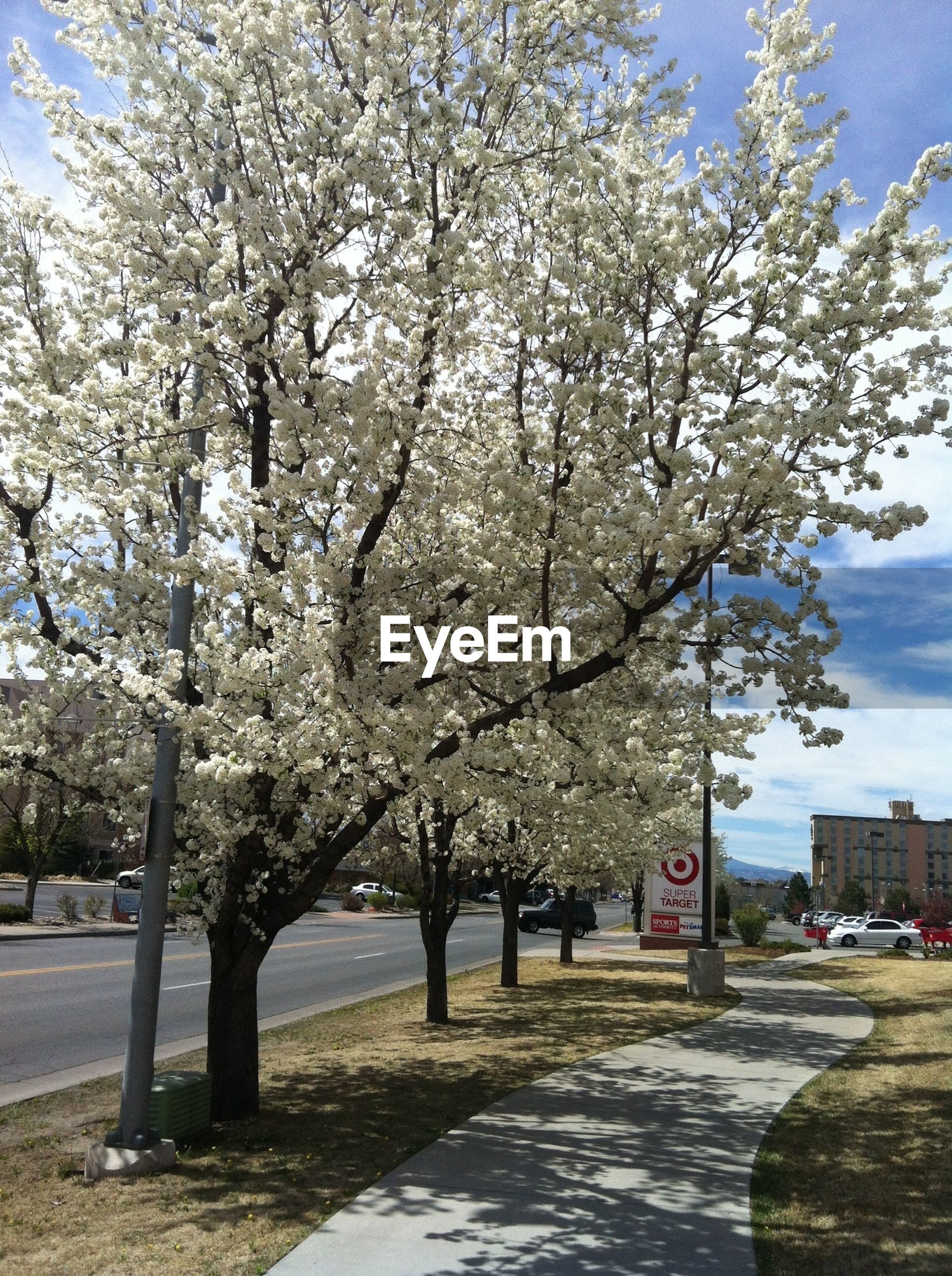 tree, flower, branch, cherry blossom, growth, nature, road, sky, cherry tree, blossom, beauty in nature, white color, bare tree, transportation, day, park - man made space, tree trunk, season, outdoors, incidental people