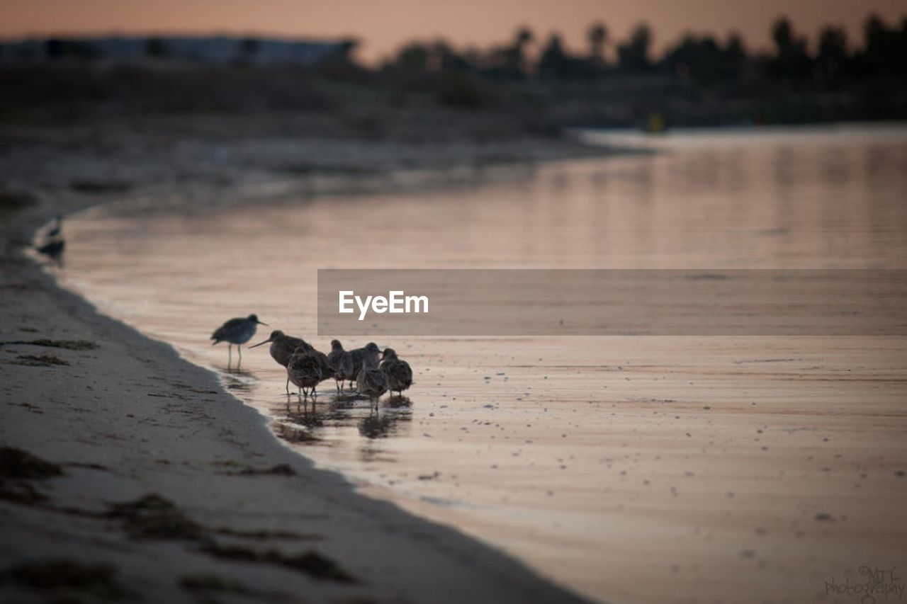 animals in the wild, animal themes, bird, animal wildlife, water, lake, nature, selective focus, reflection, no people, sunset, outdoors, day, scenics, large group of animals, beauty in nature, low tide, pelican, mammal