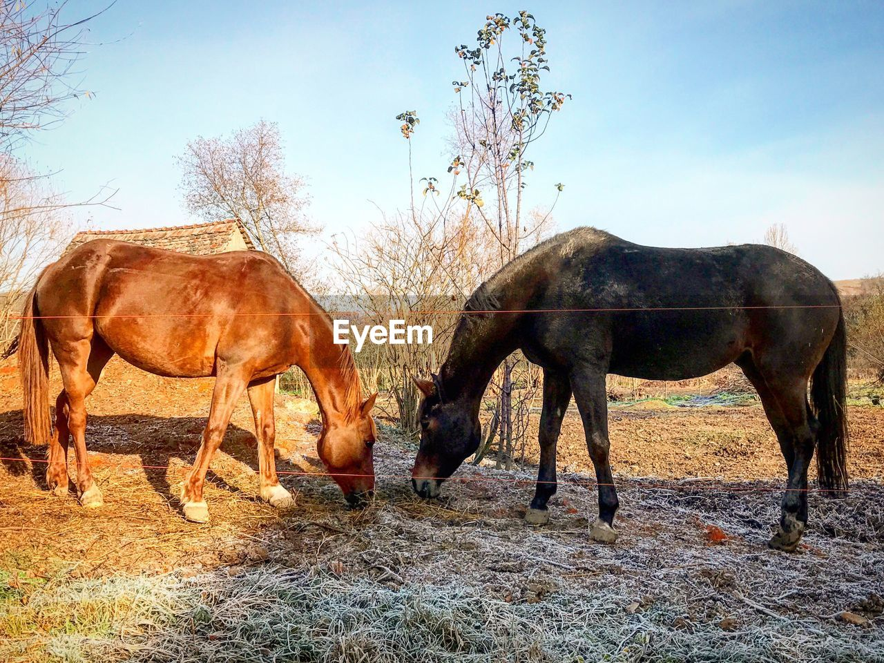 horse, animal themes, domestic animals, tree, mammal, livestock, field, day, nature, outdoors, sky, no people, clear sky, full length, beauty in nature
