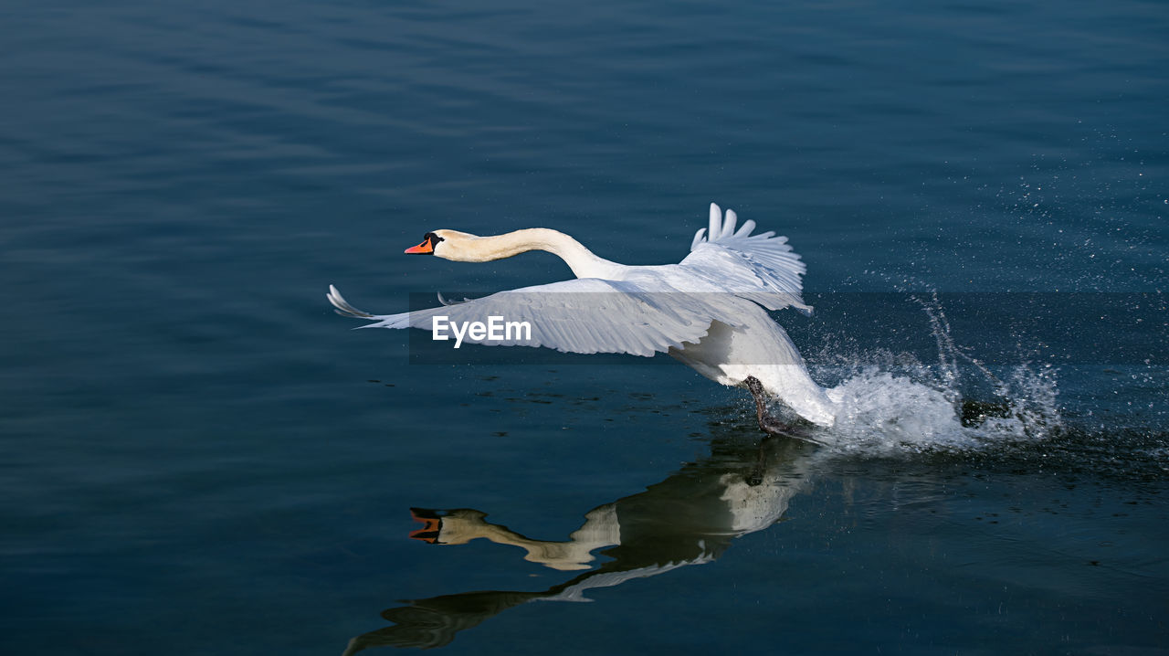 bird, animal wildlife, animals in the wild, animal themes, animal, water, vertebrate, flying, lake, spread wings, waterfront, white color, one animal, no people, water bird, swan, nature, day, flapping