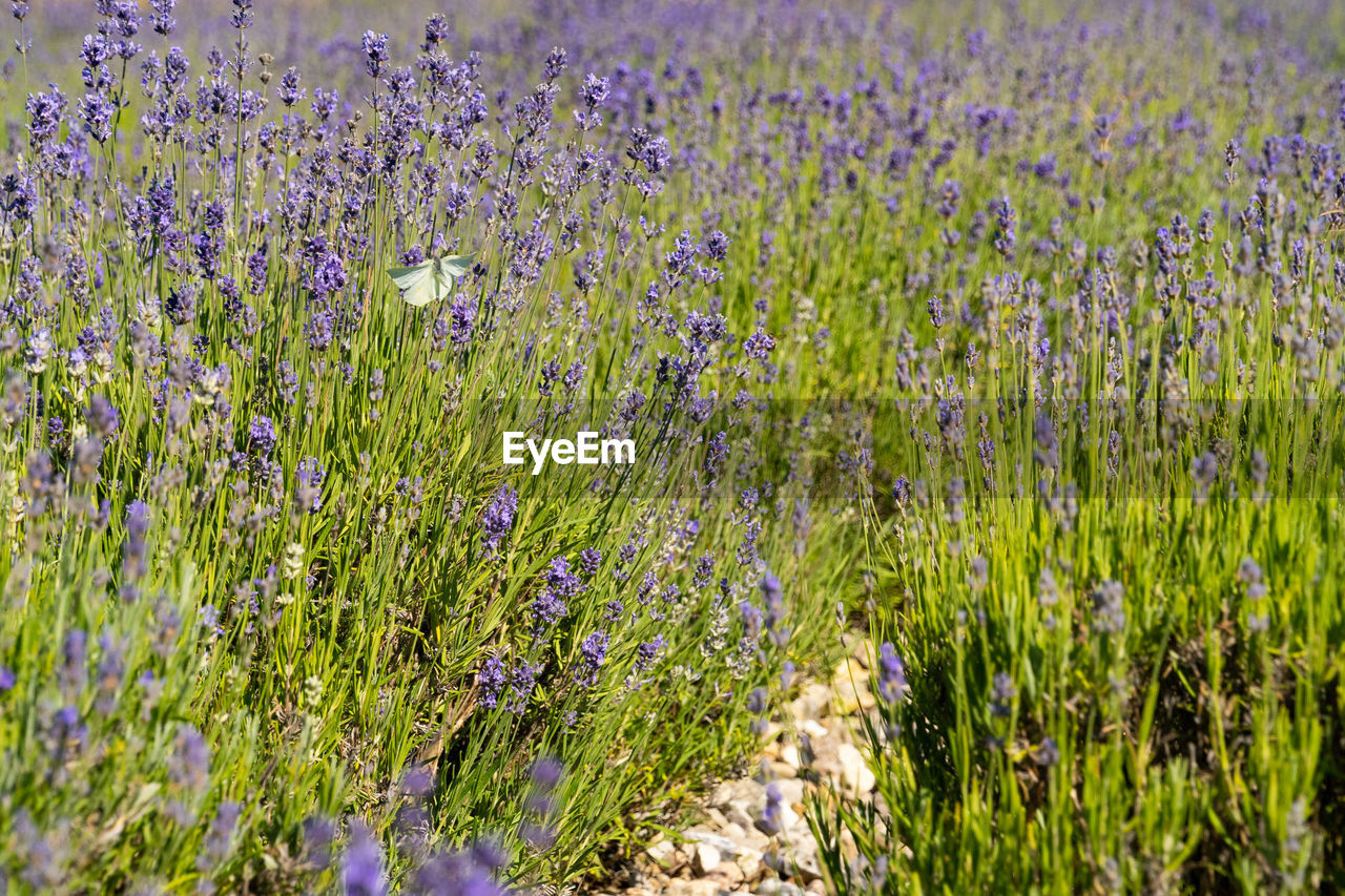 plant, growth, flower, flowering plant, beauty in nature, field, land, vulnerability, fragility, tranquility, freshness, no people, nature, day, selective focus, purple, tranquil scene, green color, landscape, lavender, outdoors