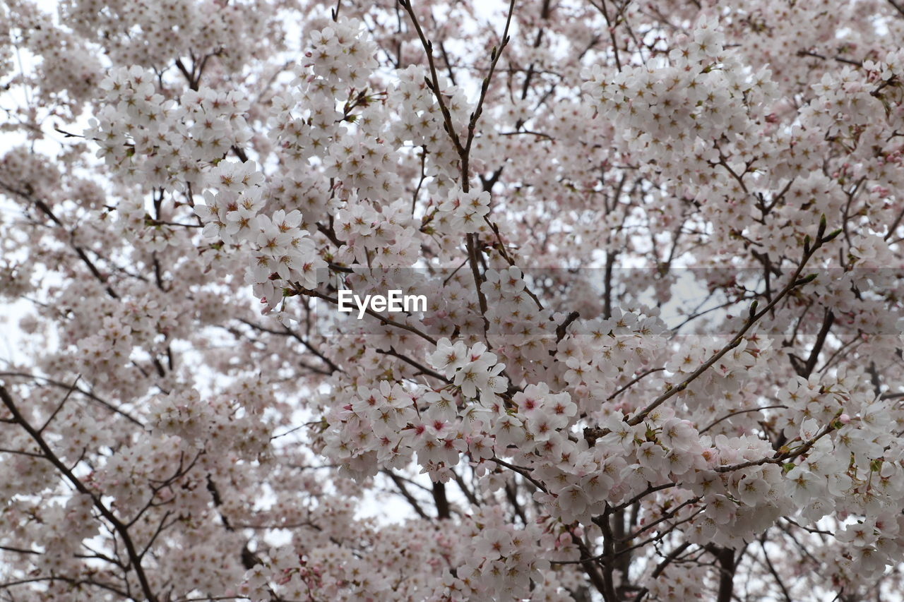 plant, flowering plant, flower, blossom, tree, fragility, freshness, vulnerability, springtime, growth, branch, cherry blossom, beauty in nature, cherry tree, nature, day, close-up, full frame, no people, backgrounds, outdoors, flower head, bunch of flowers