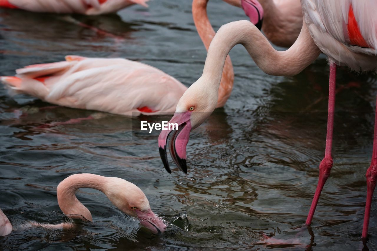 View Of Flamingo Drinking Water