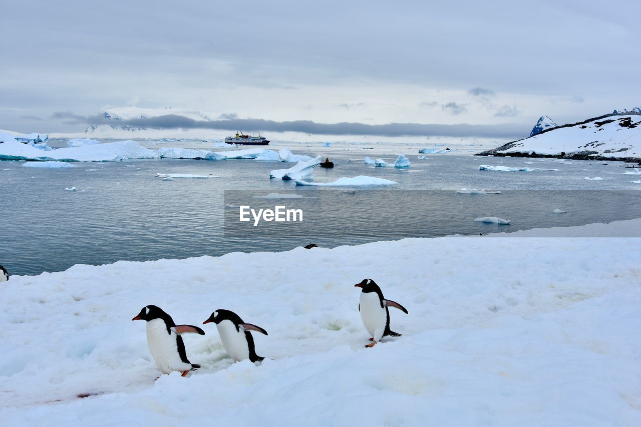 winter, cold temperature, snow, group of animals, water, animals in the wild, animal, animal themes, animal wildlife, vertebrate, bird, beauty in nature, frozen, nature, sky, ice, penguin, cloud - sky, no people, frozen water