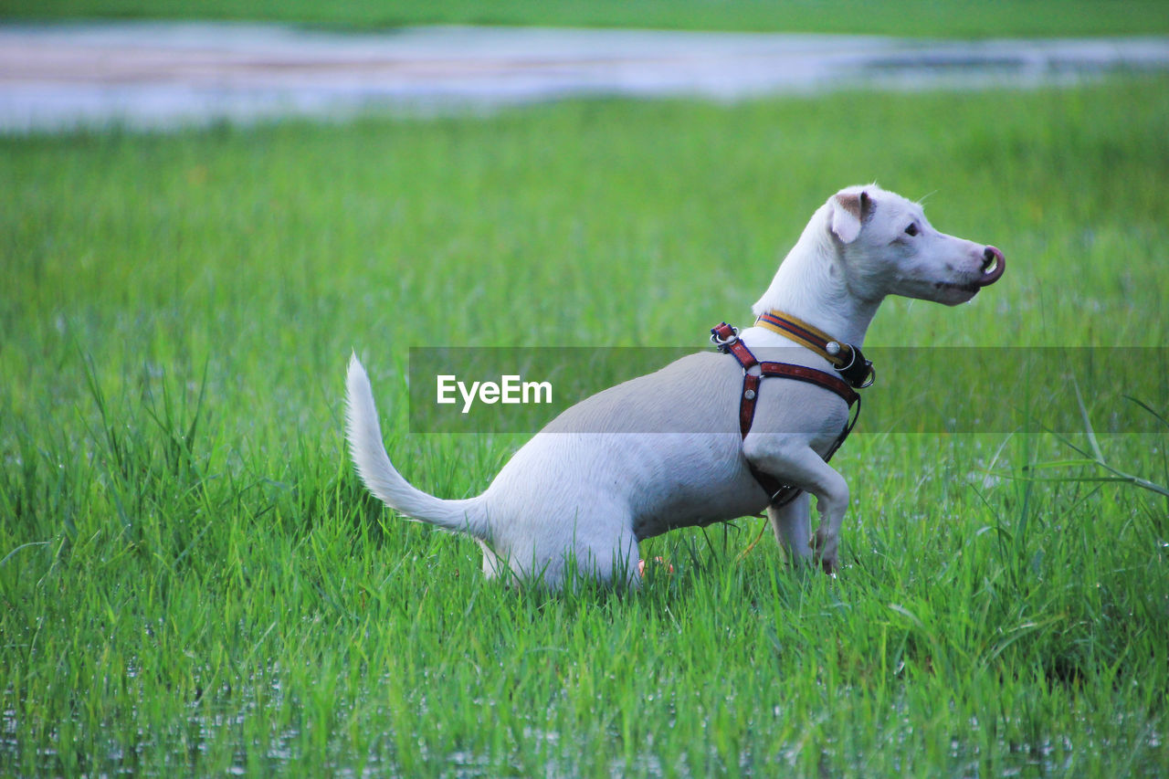 pets, domestic, domestic animals, animal themes, animal, dog, canine, grass, mammal, one animal, plant, green color, vertebrate, land, field, collar, pet collar, growth, nature, no people, jack russell terrier, weimaraner