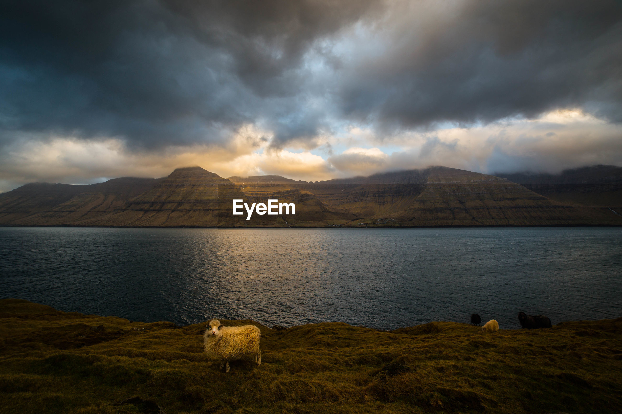Sheep standing by lake at dusk