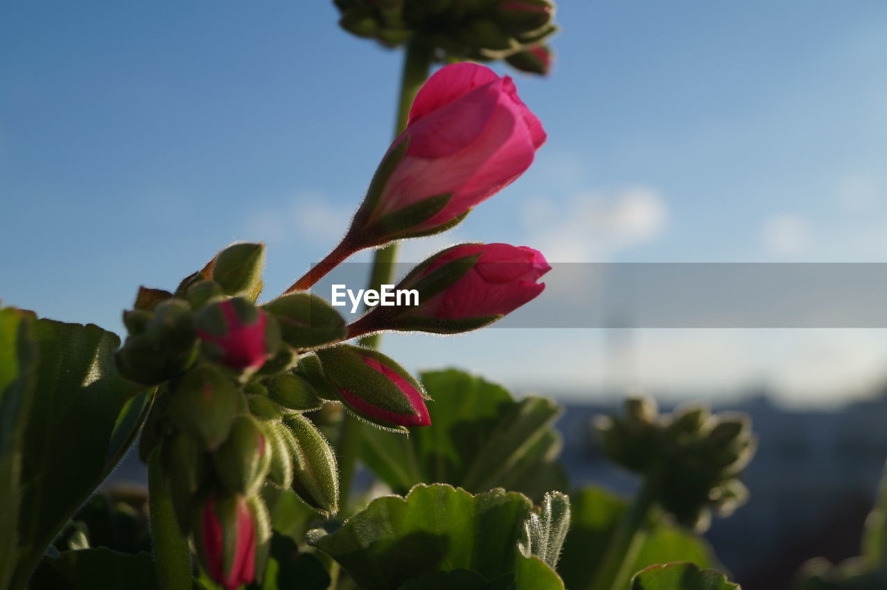flower, beauty in nature, petal, nature, growth, fragility, freshness, plant, red, flower head, leaf, no people, blooming, outdoors, day, green color, focus on foreground, close-up, sky
