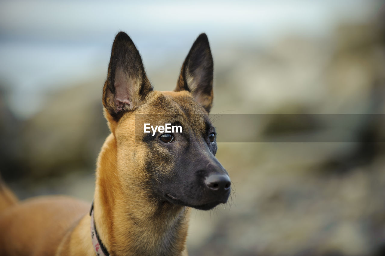 Close-up of malinois dog on field
