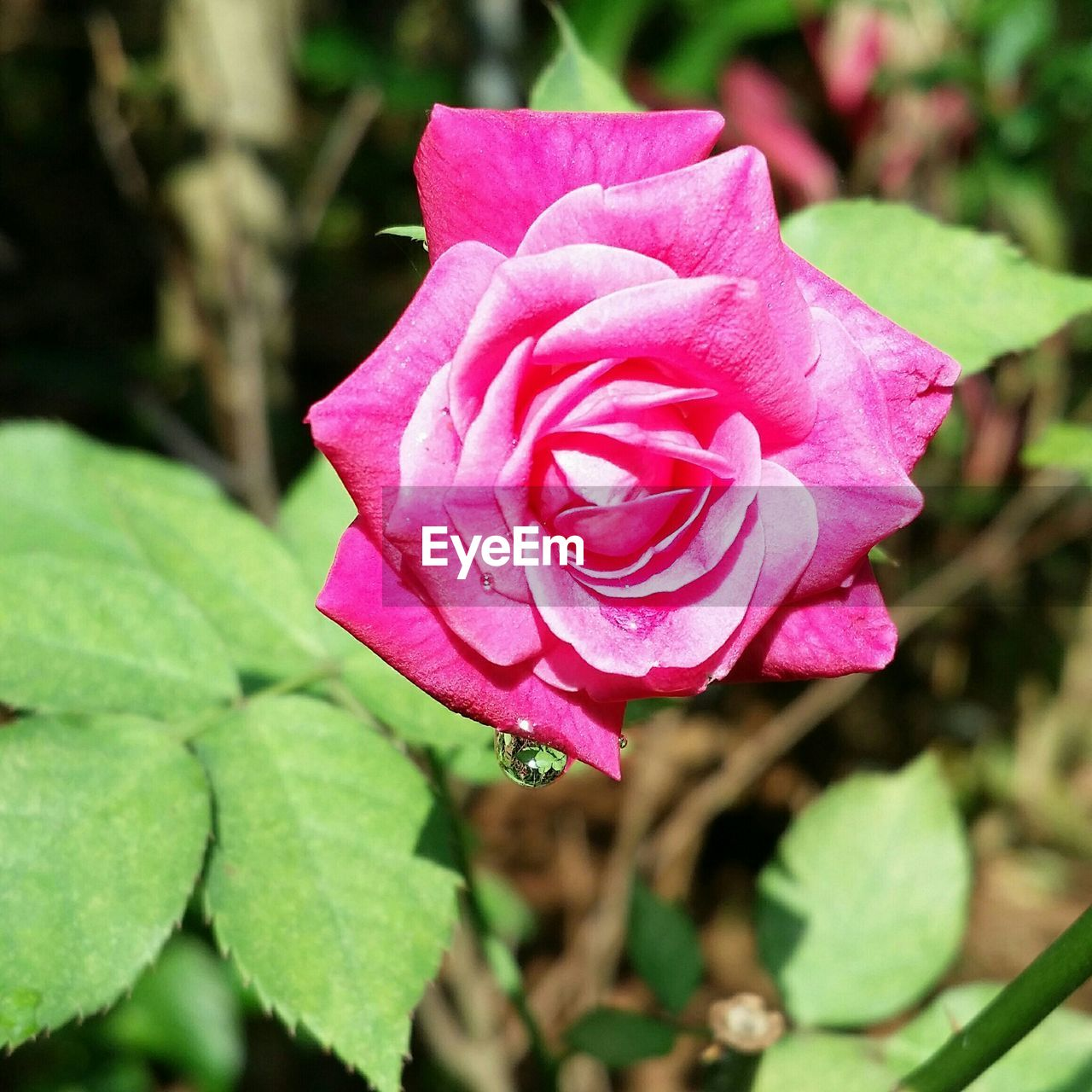 Close-up of wet pink rose blooming in park