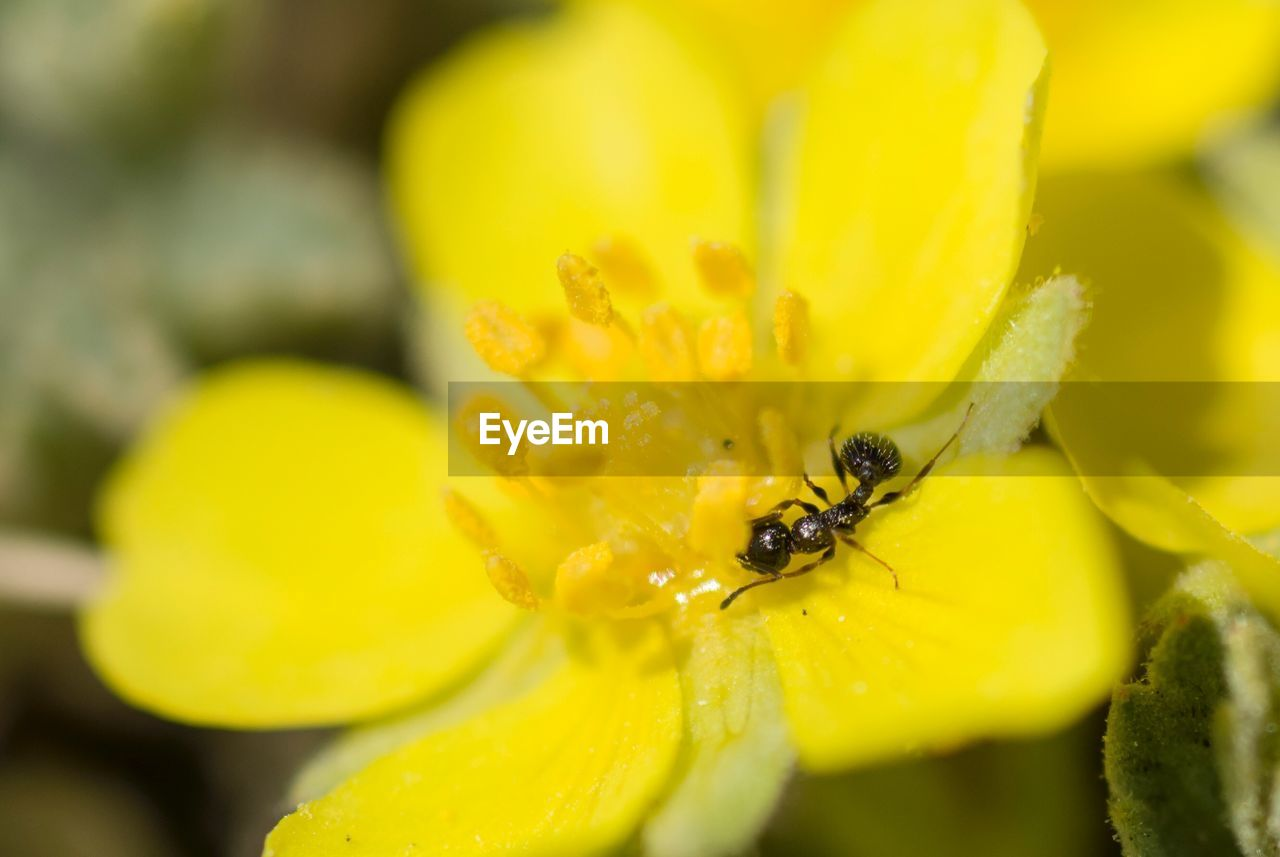 flower, flowering plant, yellow, plant, fragility, petal, vulnerability, growth, beauty in nature, close-up, flower head, freshness, invertebrate, insect, selective focus, animal wildlife, inflorescence, animals in the wild, animal themes, animal, pollen, no people, outdoors, pollination