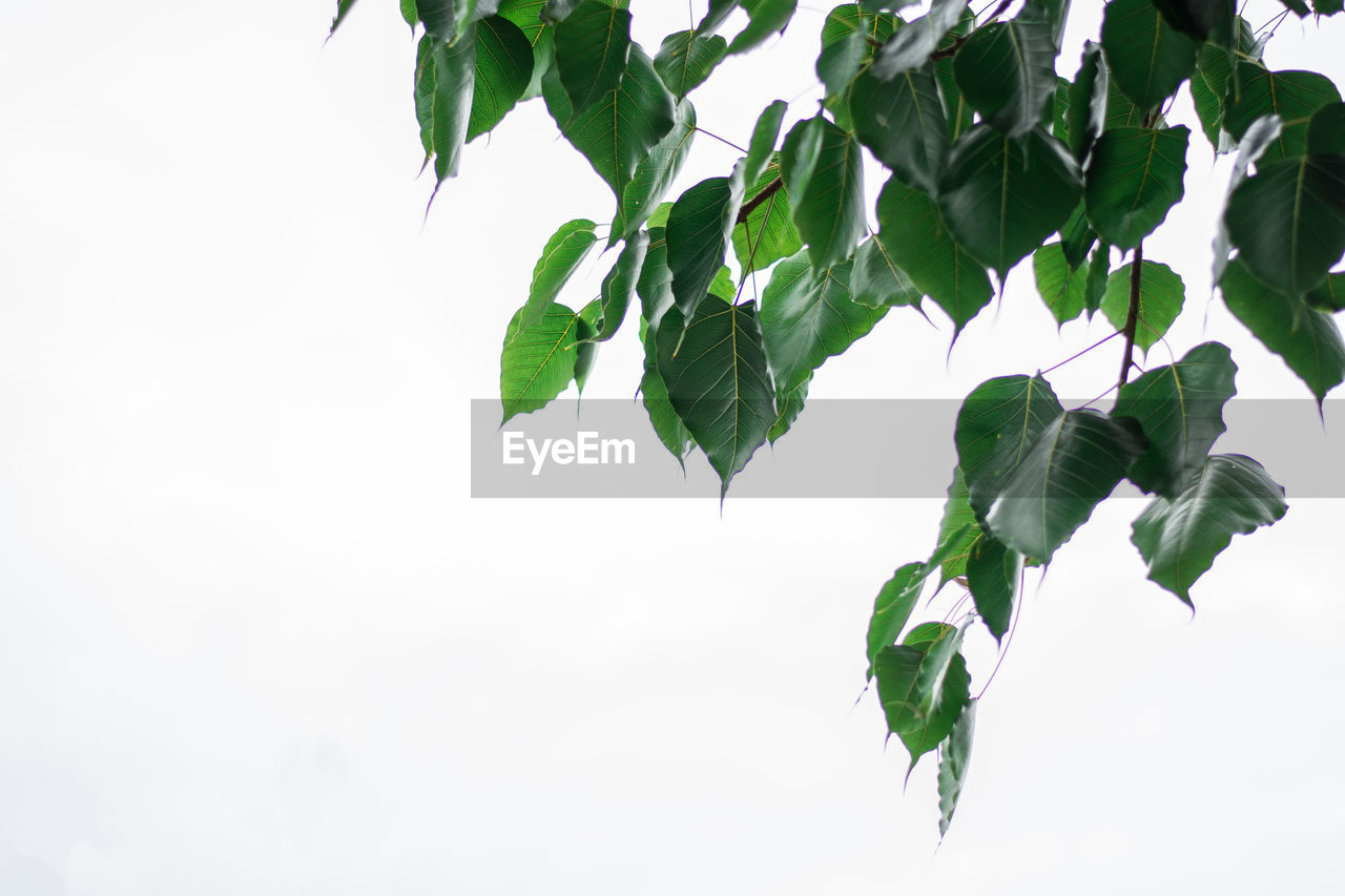 plant part, leaf, plant, green color, growth, nature, beauty in nature, no people, sky, copy space, freshness, low angle view, white background, close-up, studio shot, day, tree, branch, outdoors, clear sky, leaves