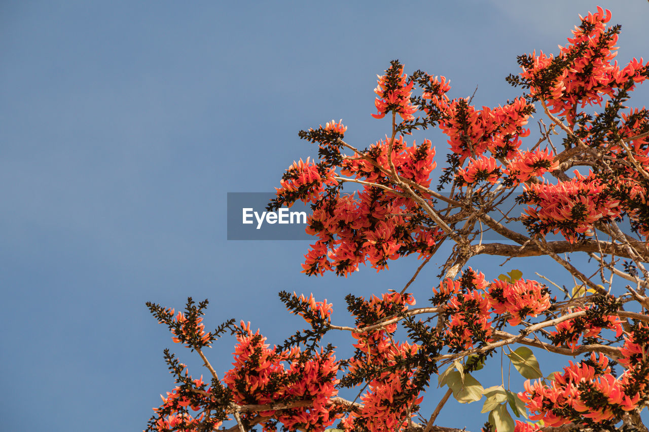 LOW ANGLE VIEW OF RED TREE AGAINST SKY