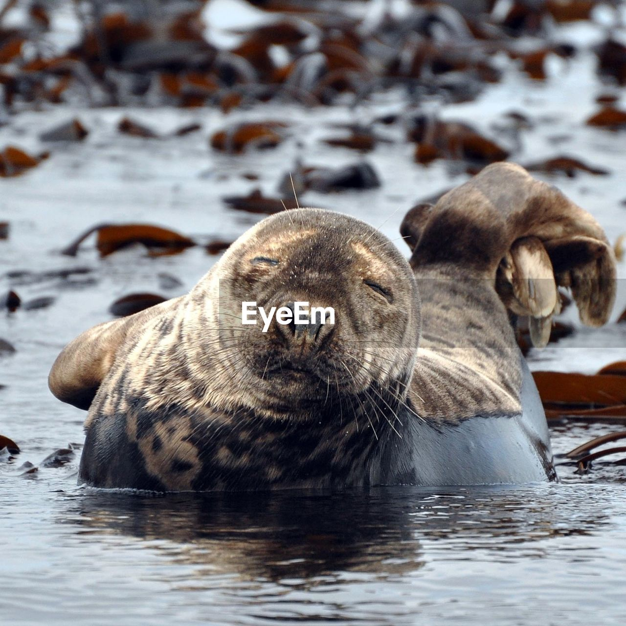 Close-Up Of Cute Seal At Farne Islands