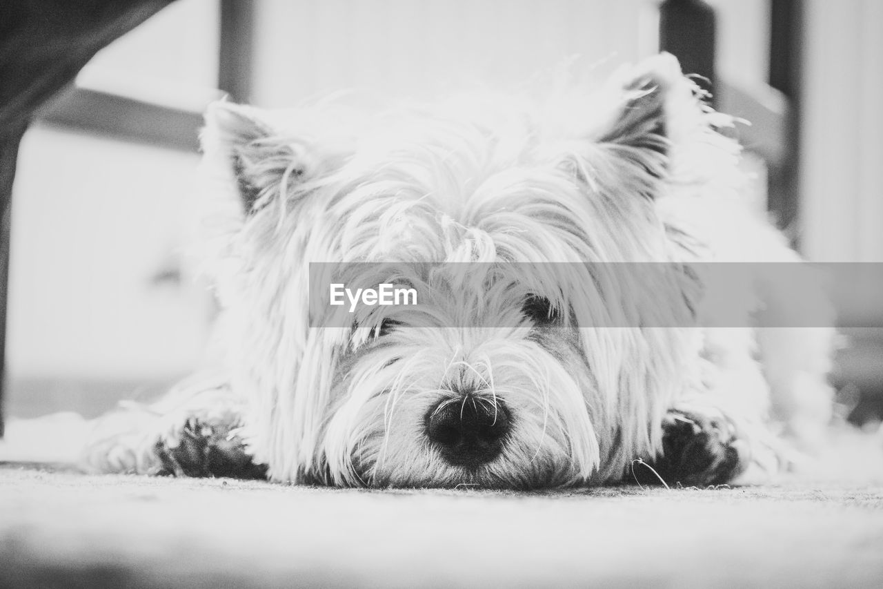 pets, one animal, animal themes, domestic animals, mammal, dog, animal hair, indoors, close-up, portrait, west highland white terrier, no people, day