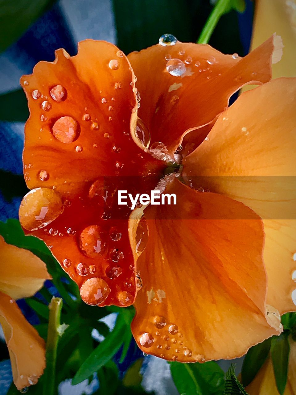 flower, flowering plant, freshness, vulnerability, fragility, petal, beauty in nature, close-up, plant, growth, flower head, drop, wet, inflorescence, water, orange color, no people, nature, focus on foreground, pollen, outdoors, dew, rain, raindrop, rainy season, purity