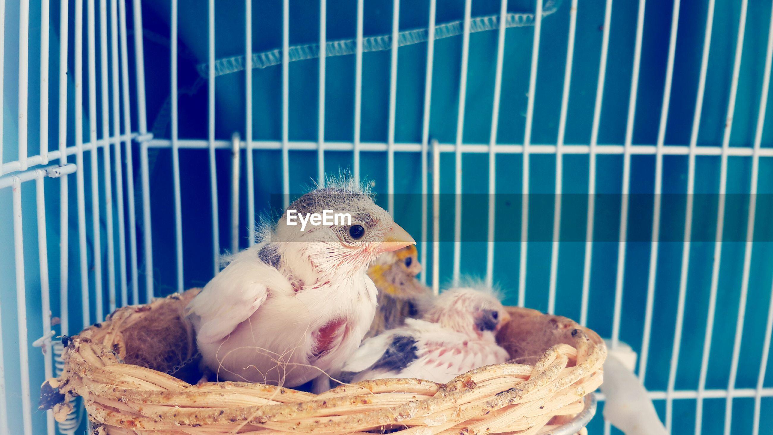 Newborn birds on wicker in cage