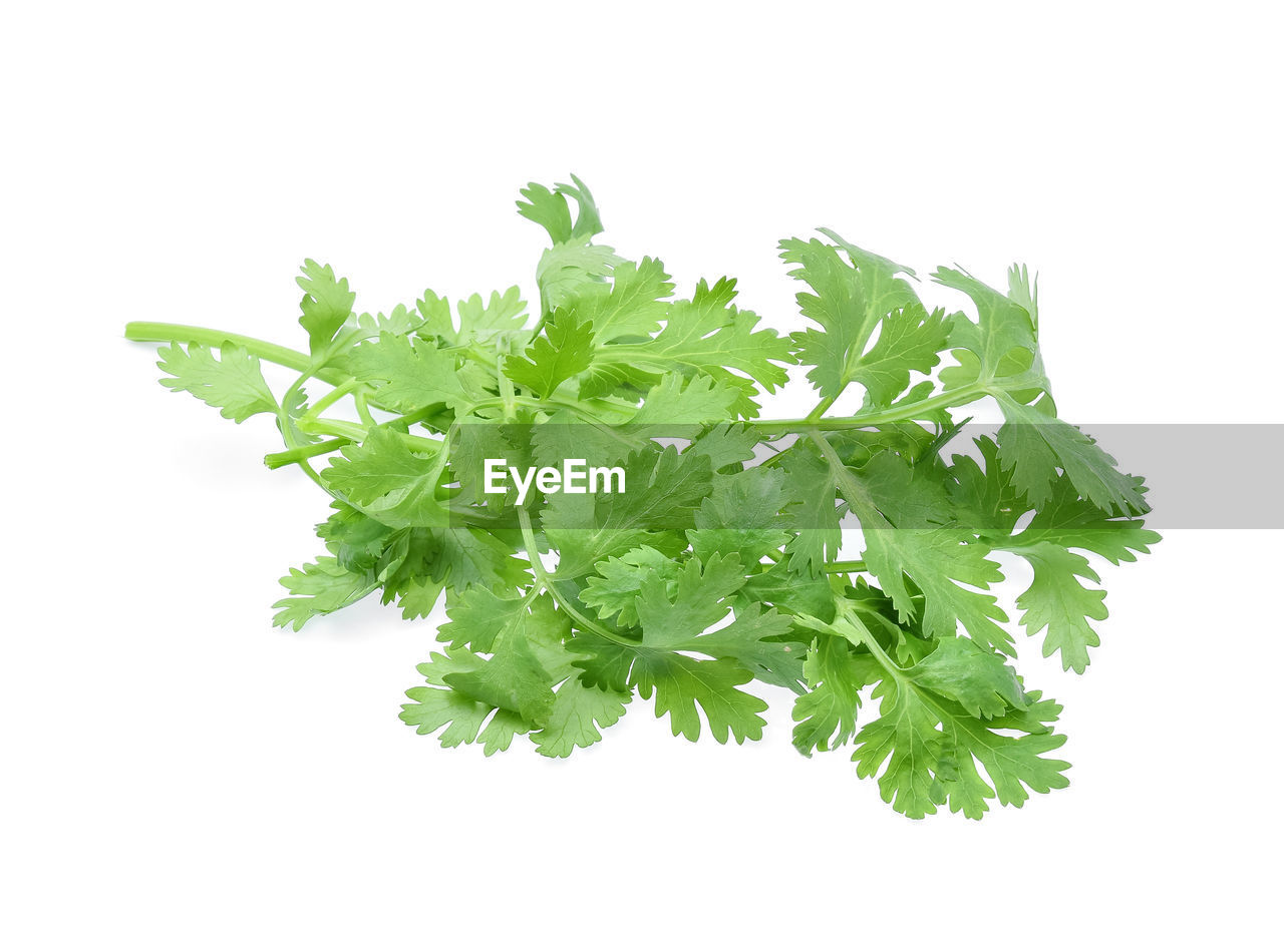 Close-up of cilantro against white background