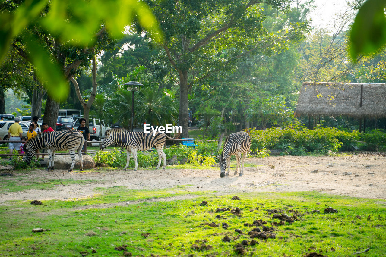 tree, plant, animal, animal wildlife, animal themes, animals in the wild, group of animals, mammal, striped, vertebrate, nature, green color, land, day, grass, growth, field, zebra, no people, outdoors, herbivorous