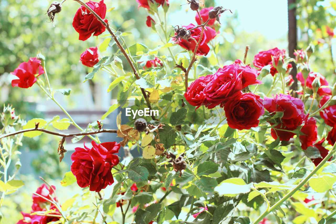 Nature Beauty In Nature Close-up Day Flower Flower Head Flowering Plant Focus On Foreground Fragility Freshness Garden Growth Inflorescence Nature Nature_collection No People Outdoors Petal Plant Plant Part Red Rosé Rose - Flower Summer Vulnerability