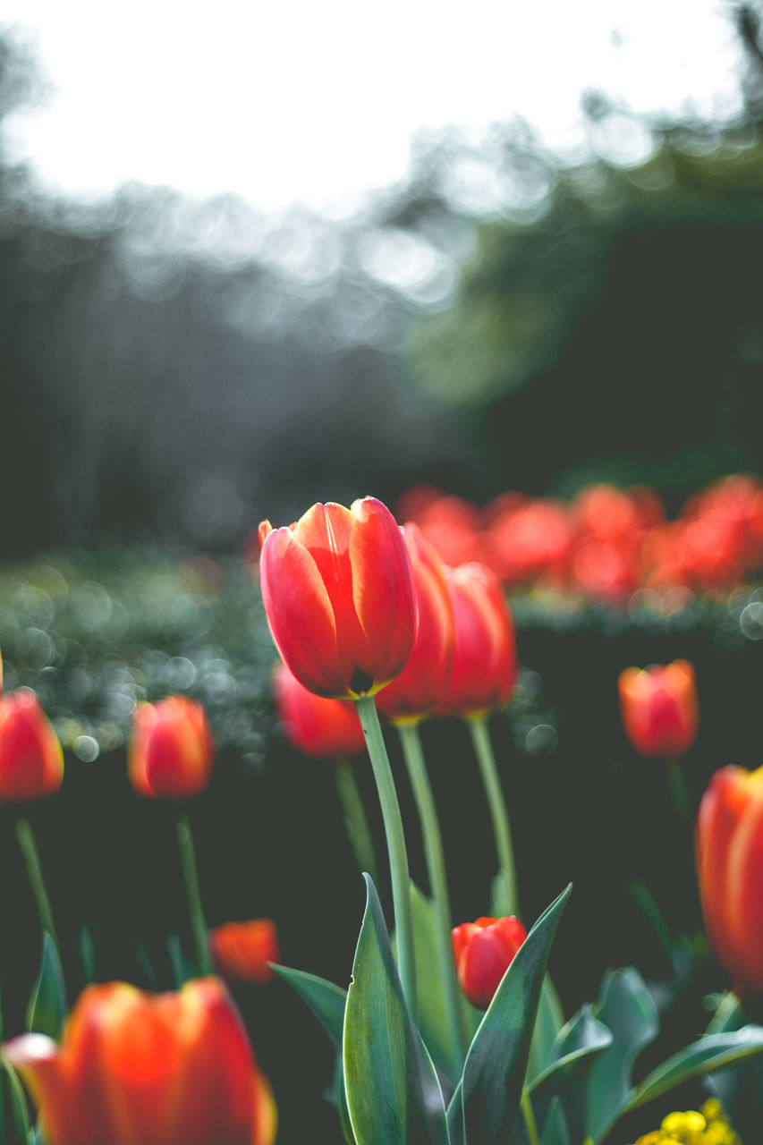 flower, flowering plant, plant, beauty in nature, freshness, vulnerability, fragility, growth, petal, close-up, tulip, flower head, nature, no people, focus on foreground, inflorescence, day, field, plant stem, red, flowerbed, spring