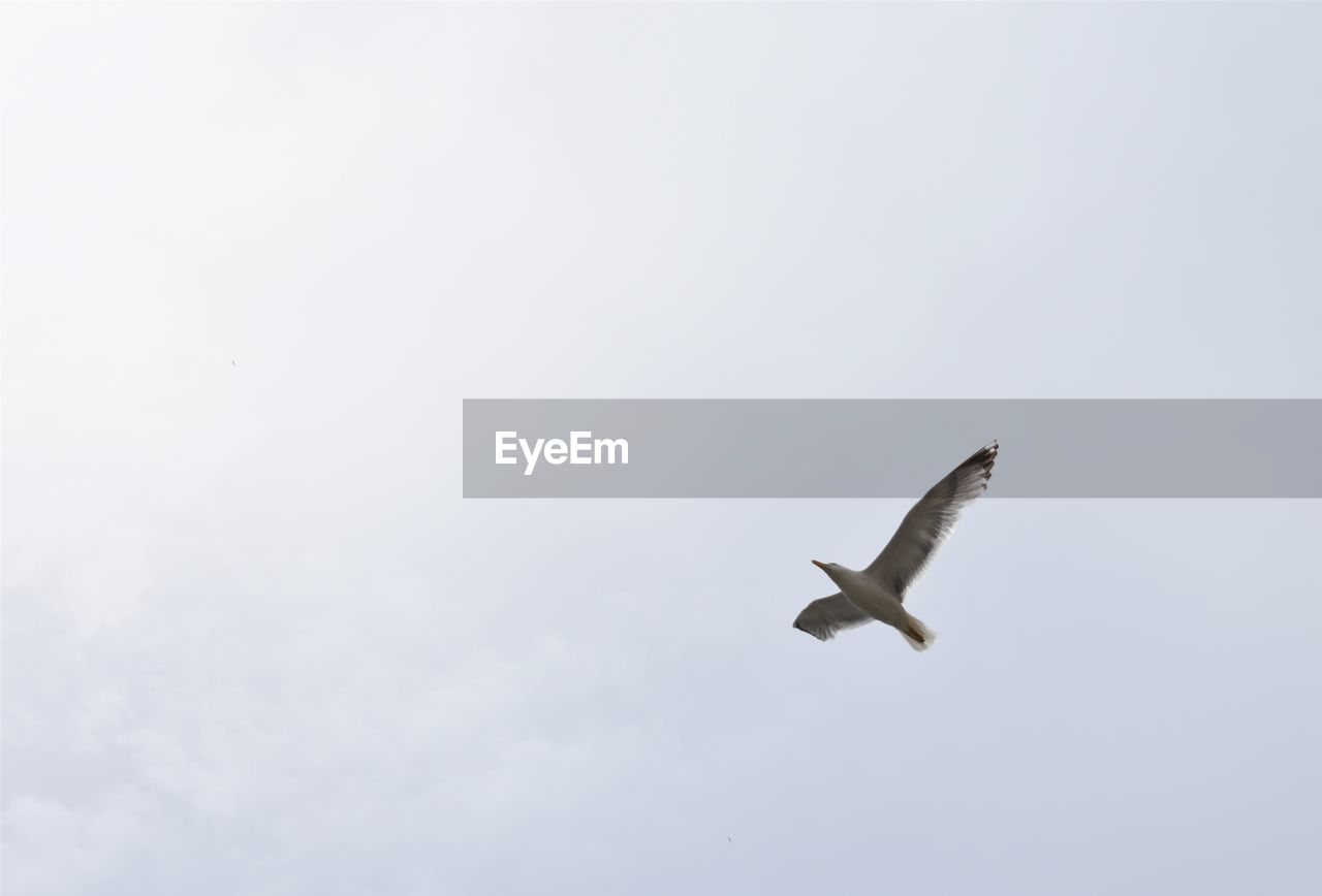 animals in the wild, animal themes, animal wildlife, flying, animal, vertebrate, bird, one animal, sky, spread wings, low angle view, mid-air, no people, nature, day, motion, copy space, outdoors, beauty in nature, clear sky, seagull