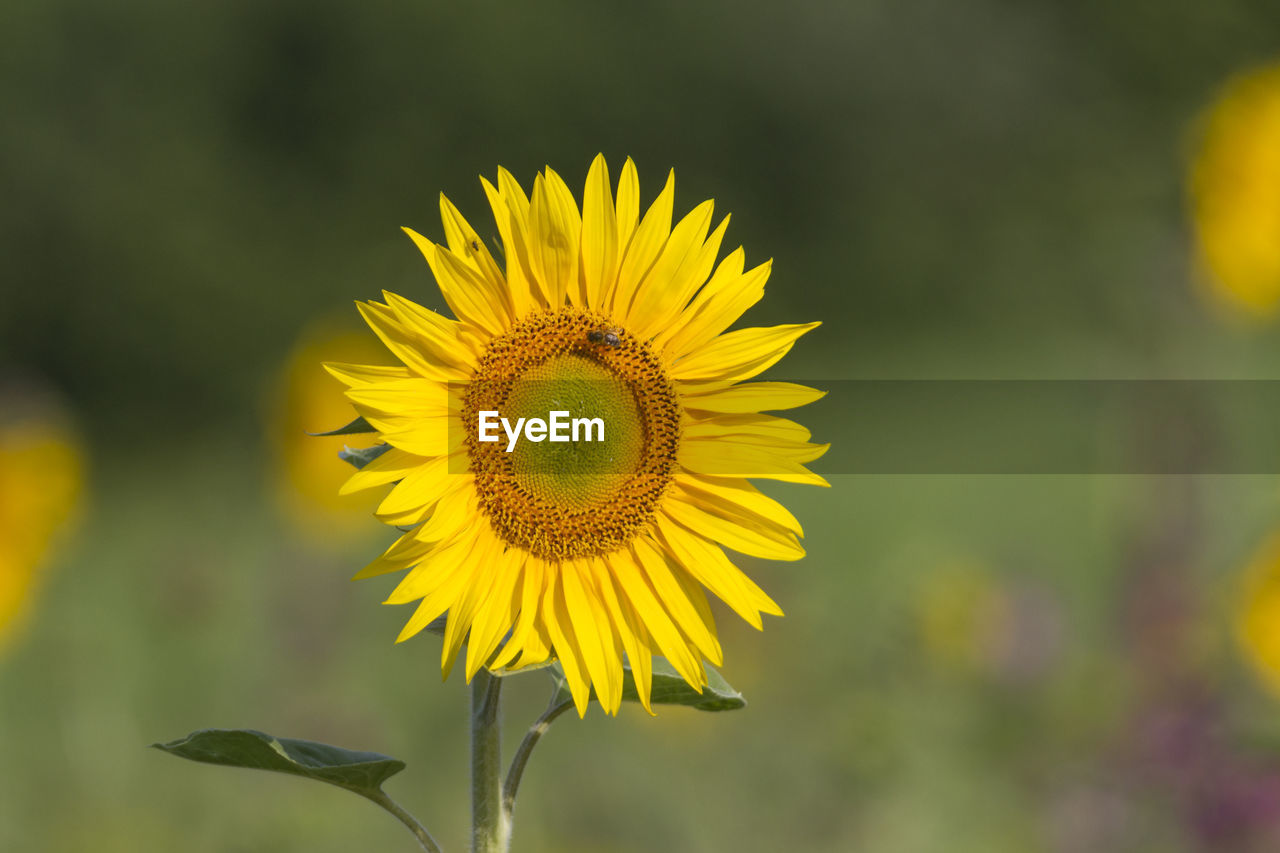 yellow, flower, petal, nature, fragility, focus on foreground, growth, flower head, beauty in nature, outdoors, plant, freshness, day, close-up, field, no people, sunflower, blooming