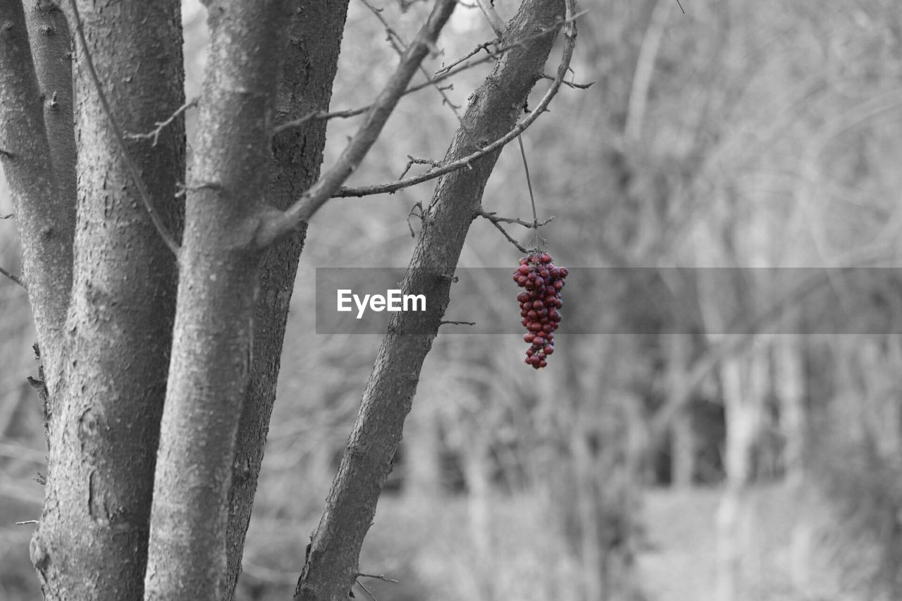fruit, tree, food and drink, red, focus on foreground, no people, day, outdoors, nature, growth, healthy eating, food, branch, close-up, freshness, beauty in nature