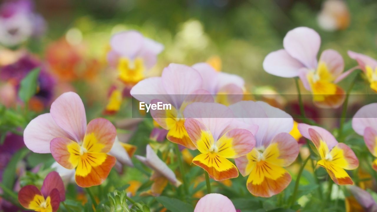 flowering plant, flower, vulnerability, fragility, plant, beauty in nature, freshness, growth, petal, inflorescence, close-up, flower head, nature, no people, day, yellow, selective focus, outdoors, pansy, park, purple