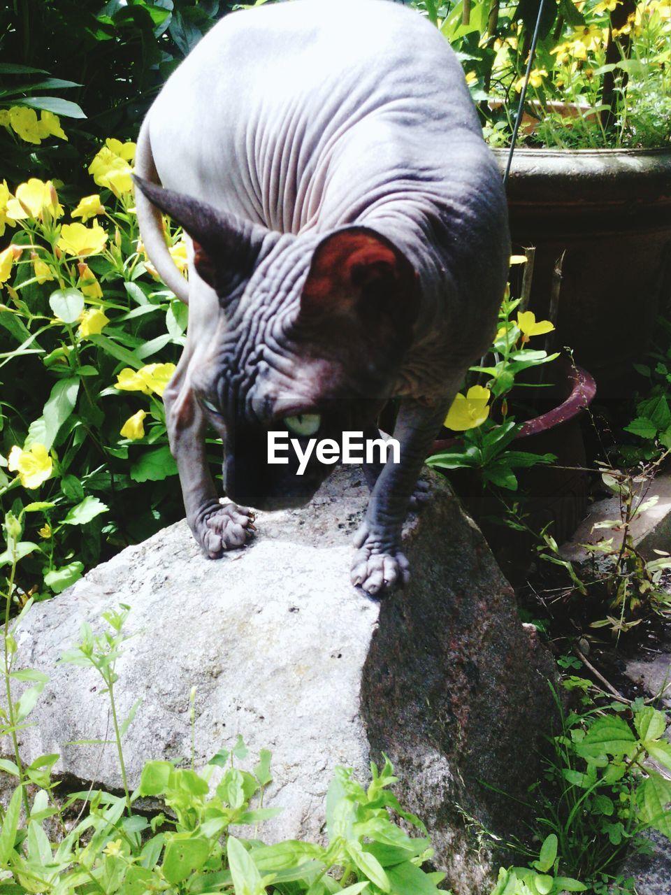 Sphynx Hairless Cat On Rock