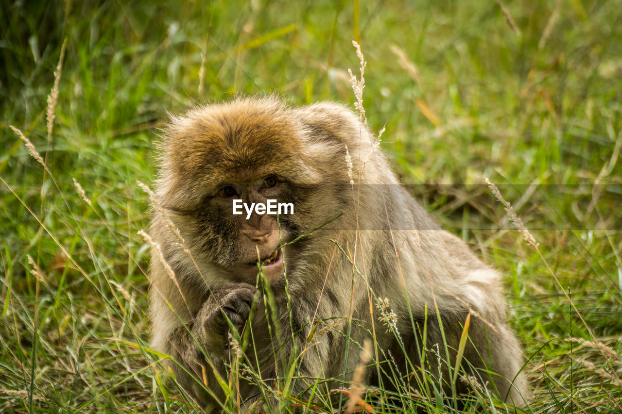 Close-up of monkey eating grass on field